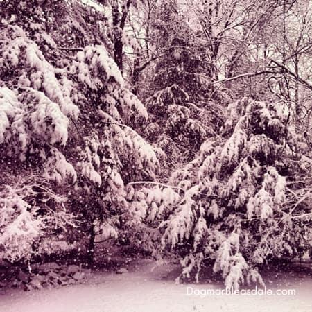 trees full of heavy snow