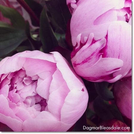 Wordless Wednesday: pink peonies