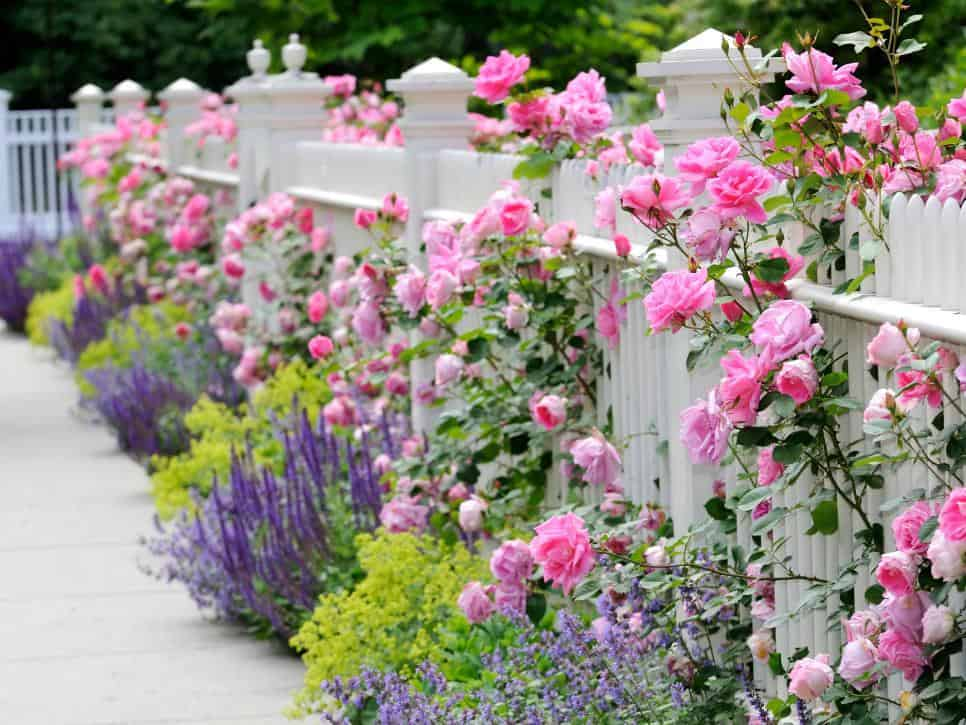 Cottage garden fence with roses and lavender